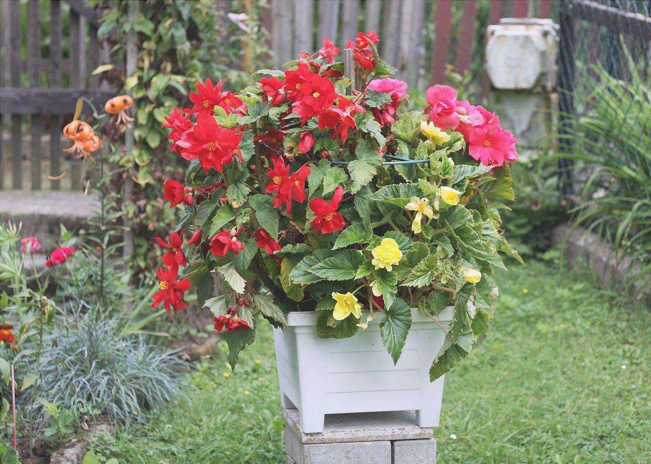 Le begonie sono piante ideali da coltivare in casa