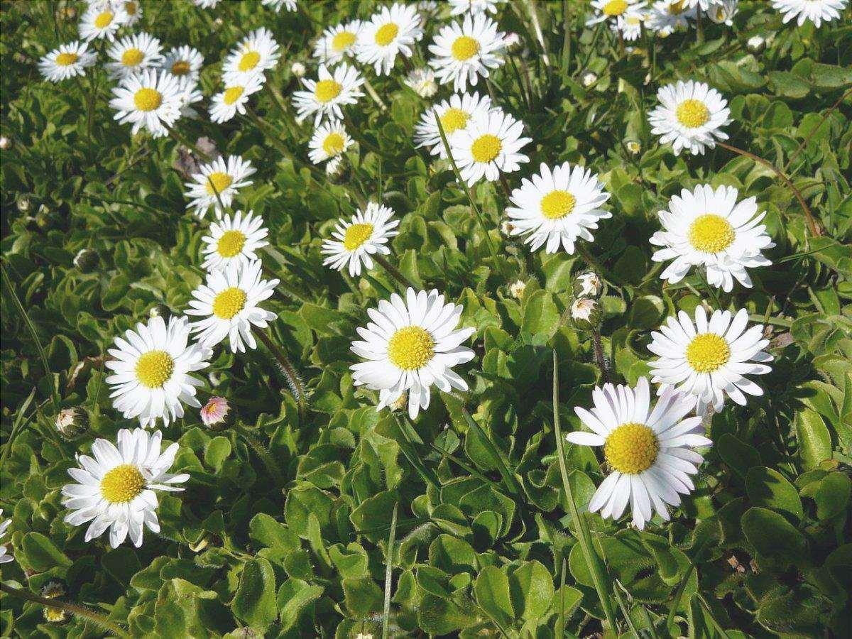 Bellis perennis è un'erba perenne che produce fiori bianchi.