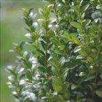 Il bosso è una pianta mellifera
