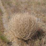 bola del desierto