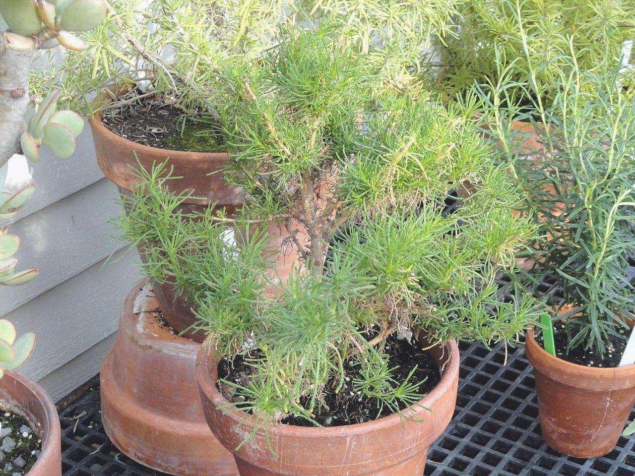 La Bonetera può essere coltivata in vaso