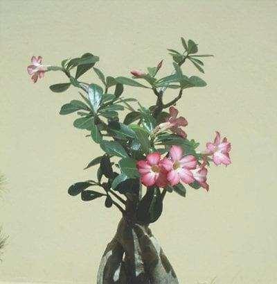 Bonsai di Adenium obesum