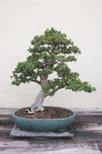 Il bonsai di Carmona microphylla è bello
