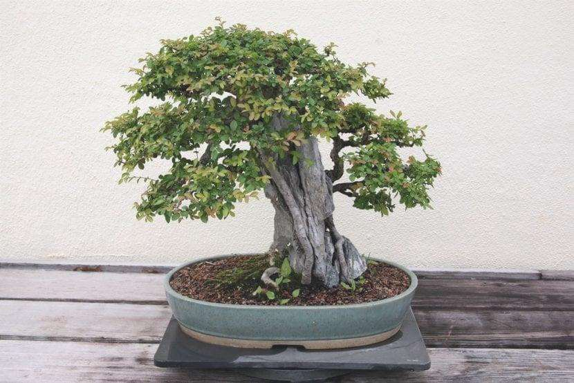 Vista di un bonsai di olmo cinese