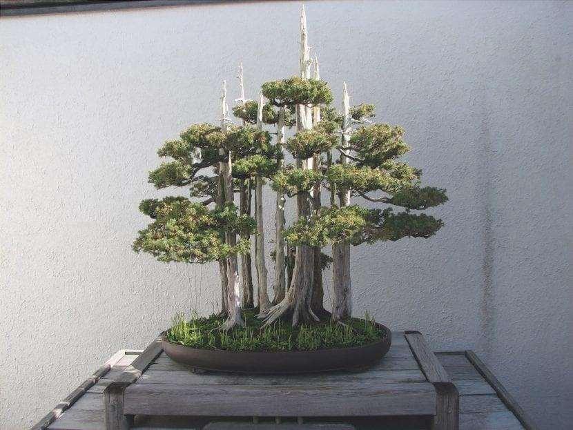 Taxus bonsai in stile foresta