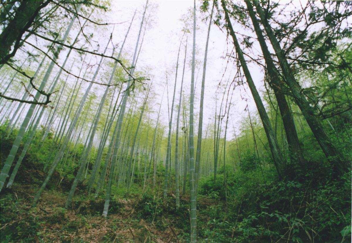 La foresta di bambù in Cina è molto estesa