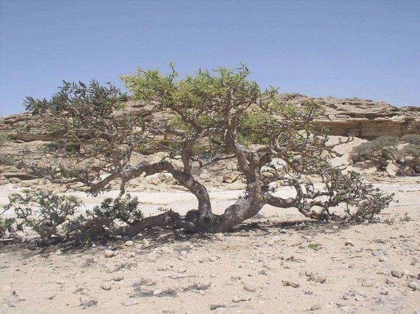 Vista della Boswellia in habitat