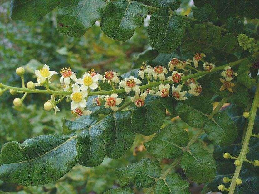 Boswellia sacra, un arbusto con bellissimi fiori