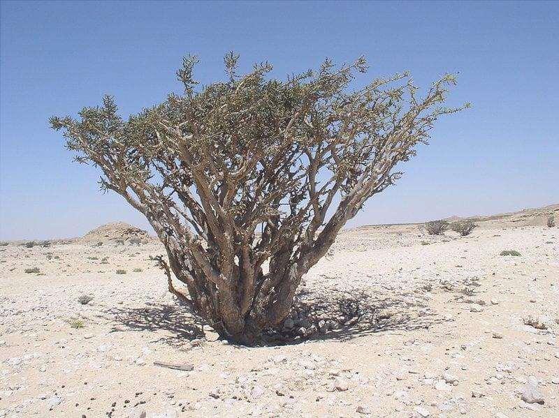 Bosweelia sacra in habitat