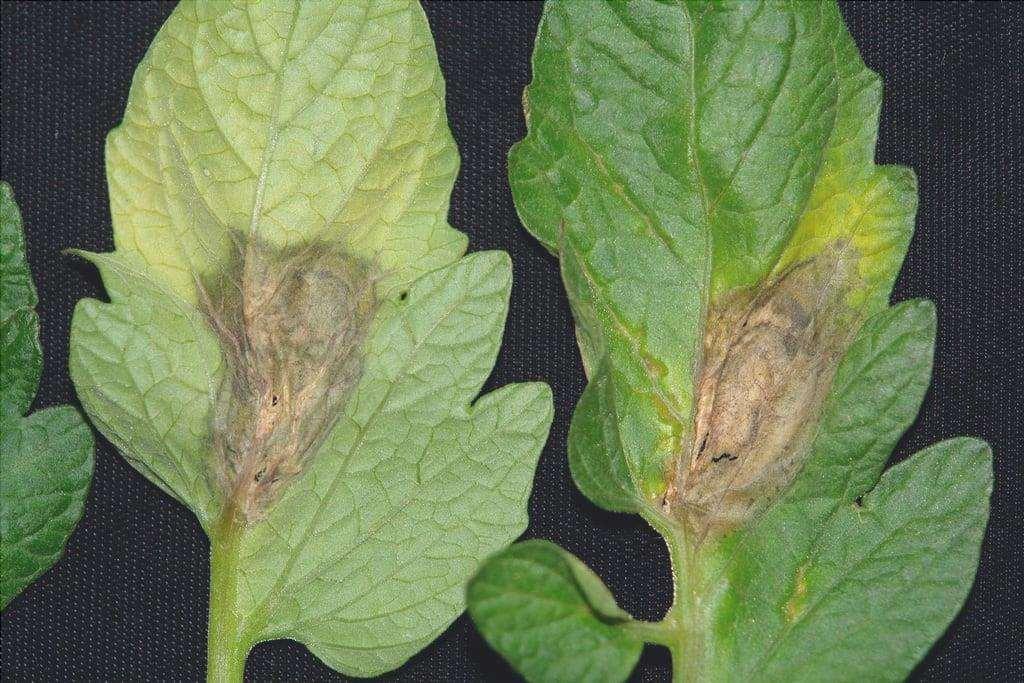 Le foglie con la botrite hanno macchie brunastre