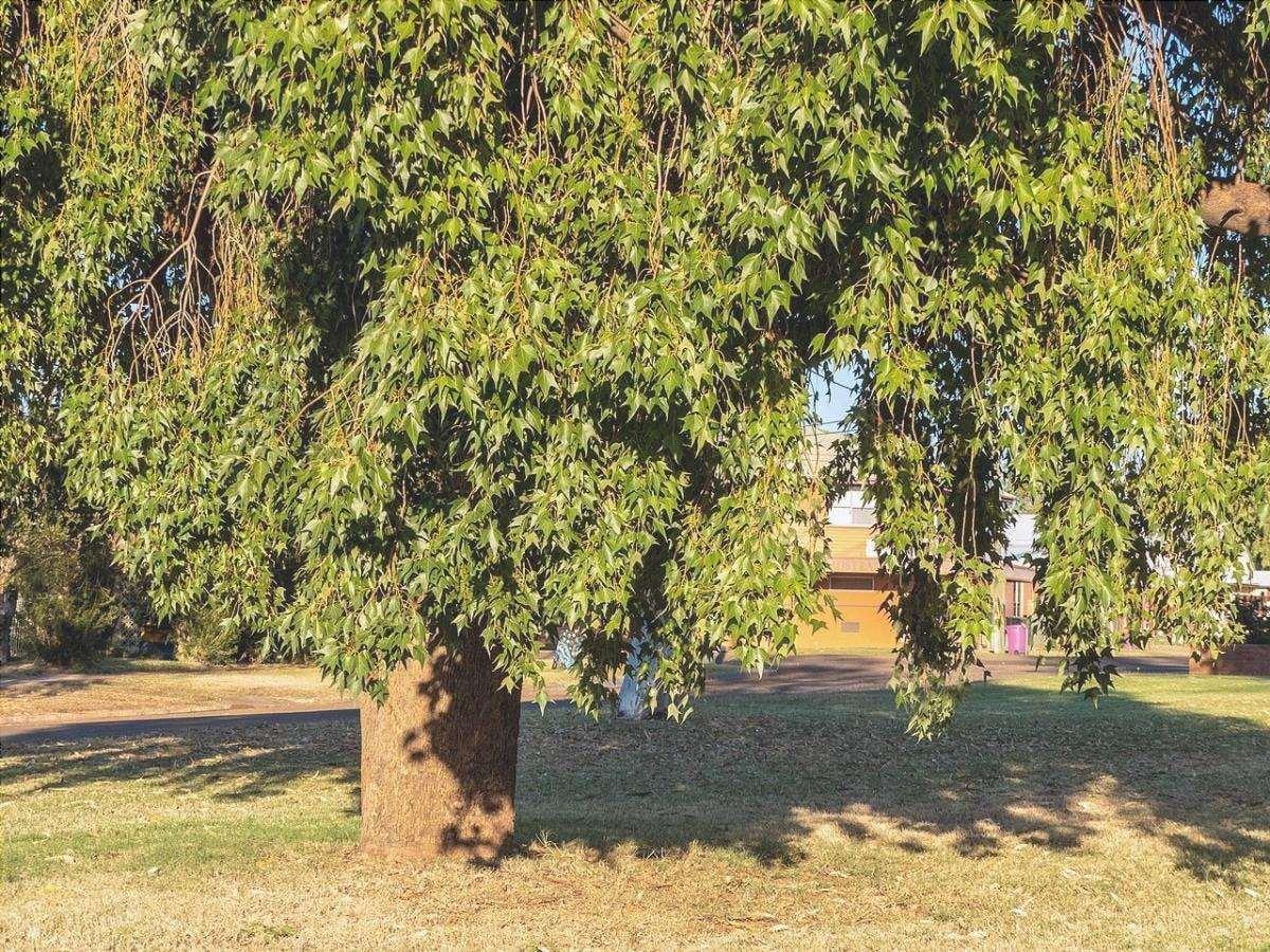 Brachychiton populneus è un albero sempreverde.