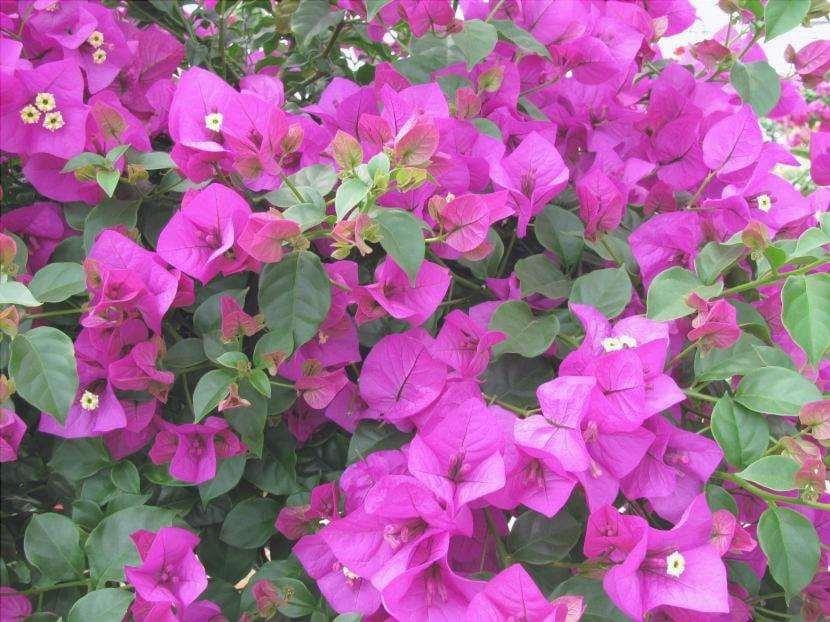 Bougainvillea con fiori lilla