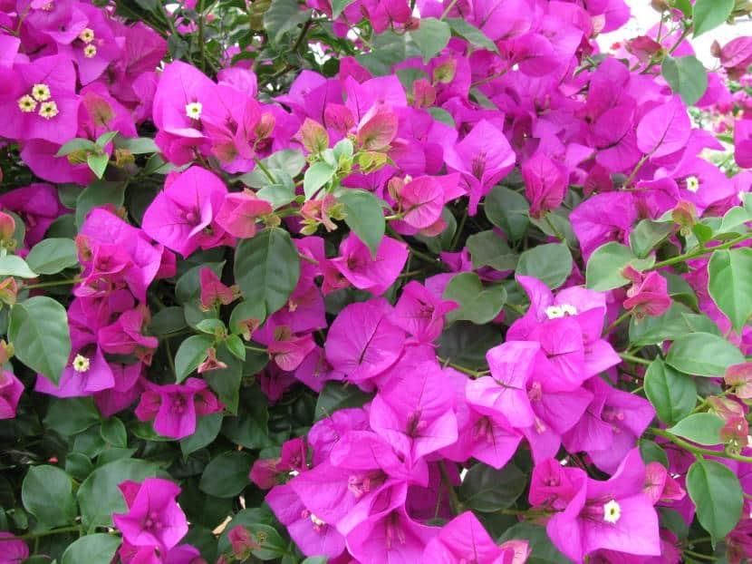 buganvilla flores lilas