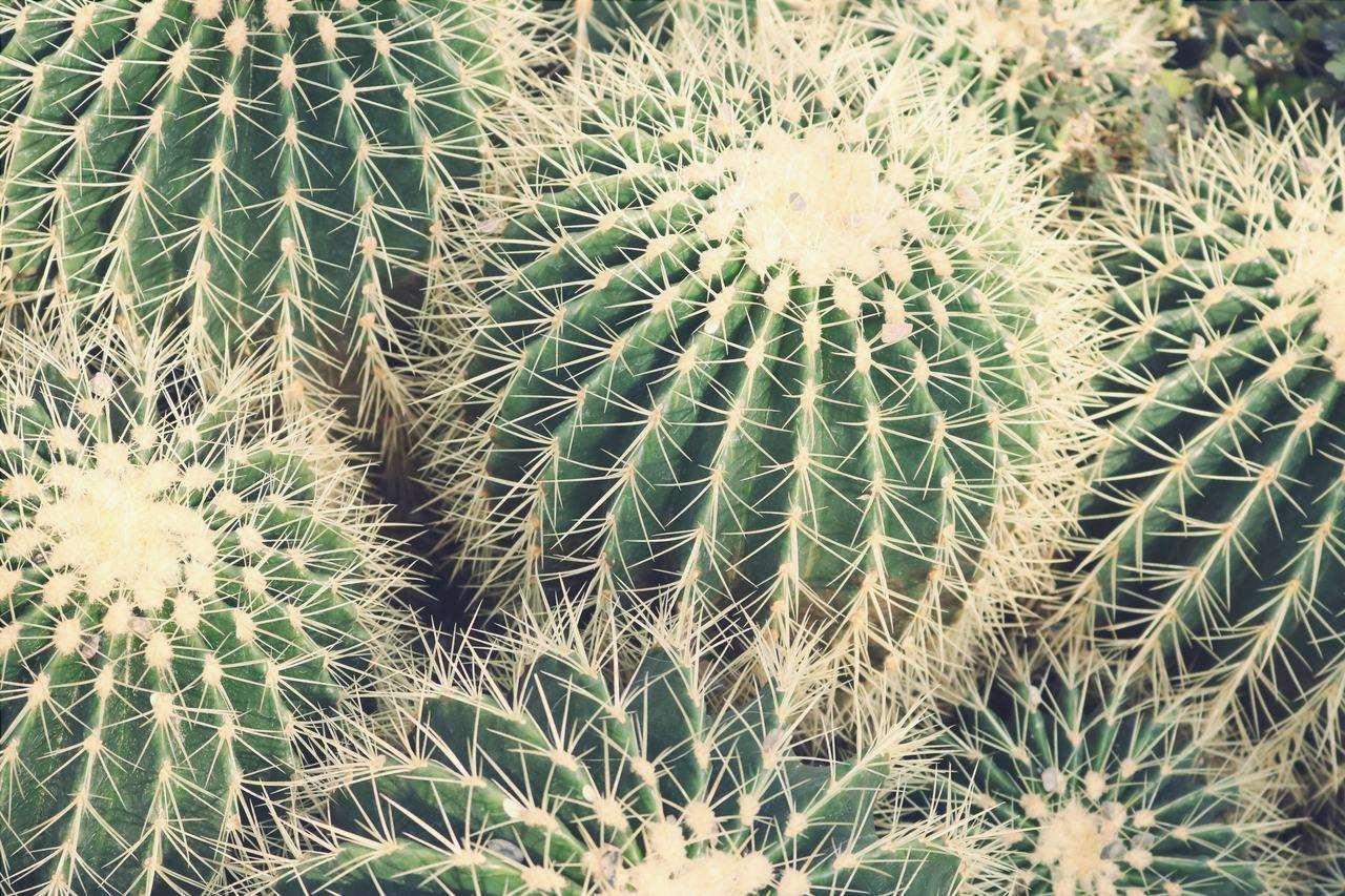 I cactus possono avere diversi parassiti