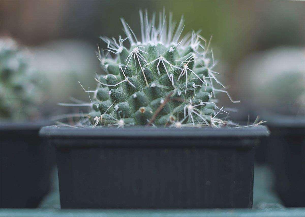 I cactus in vaso devono essere rinvasati di tanto in tanto.
