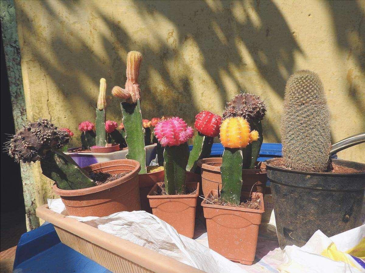 I cactus innestati sono semi-ombreggiati.