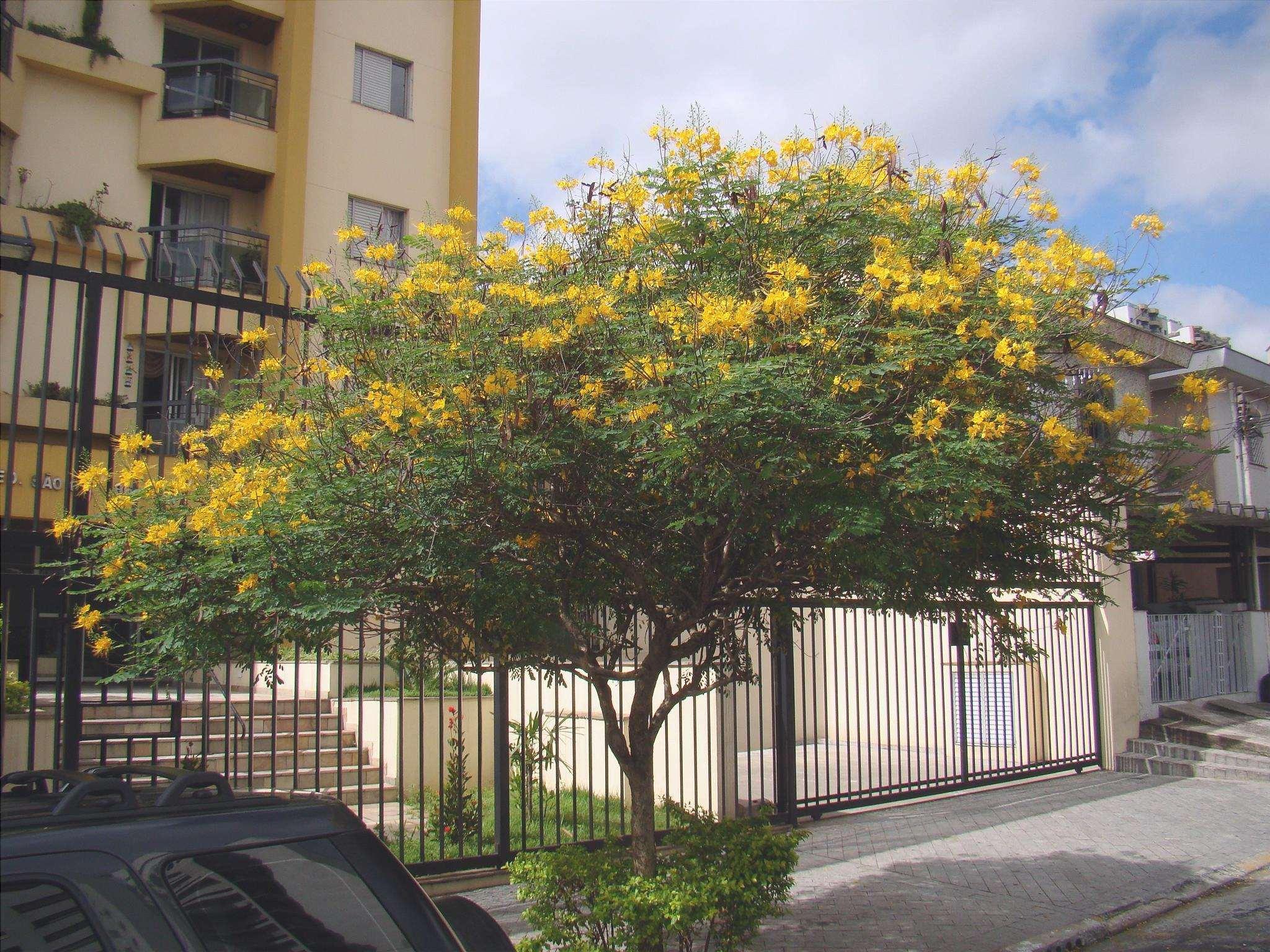 Caesalpinia pulcherrima è un piccolo albero