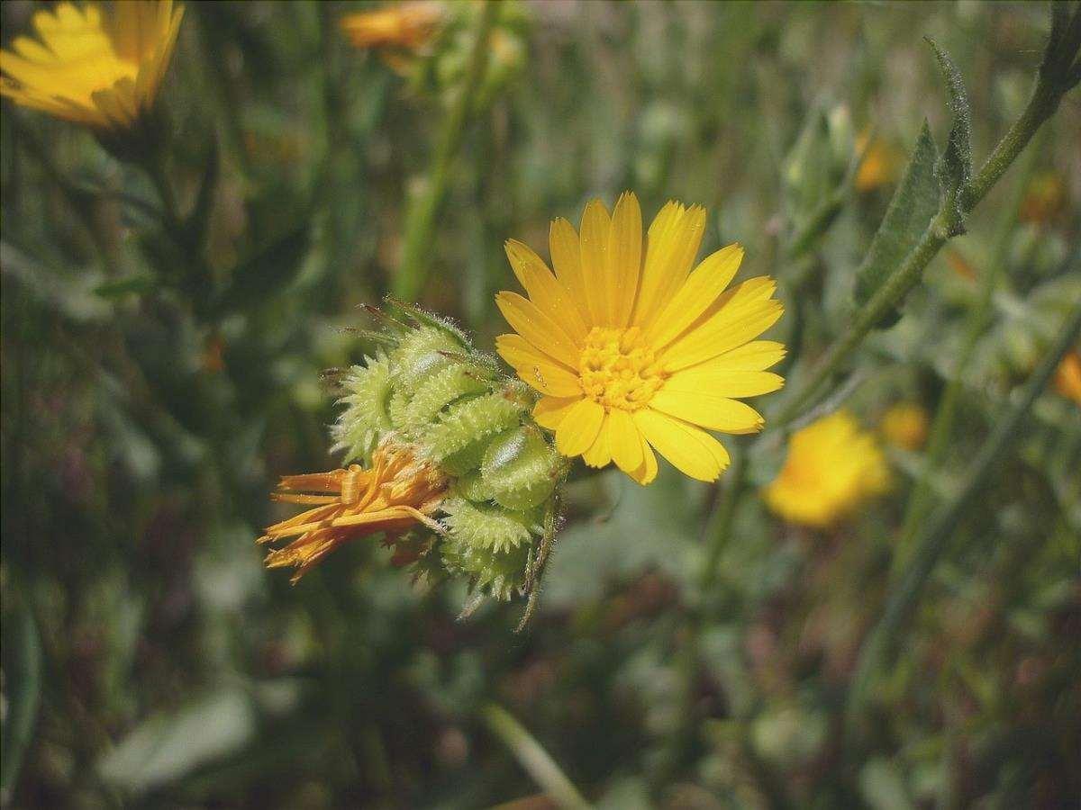 La Calendula gialla è un'erba che cresce in campagna.