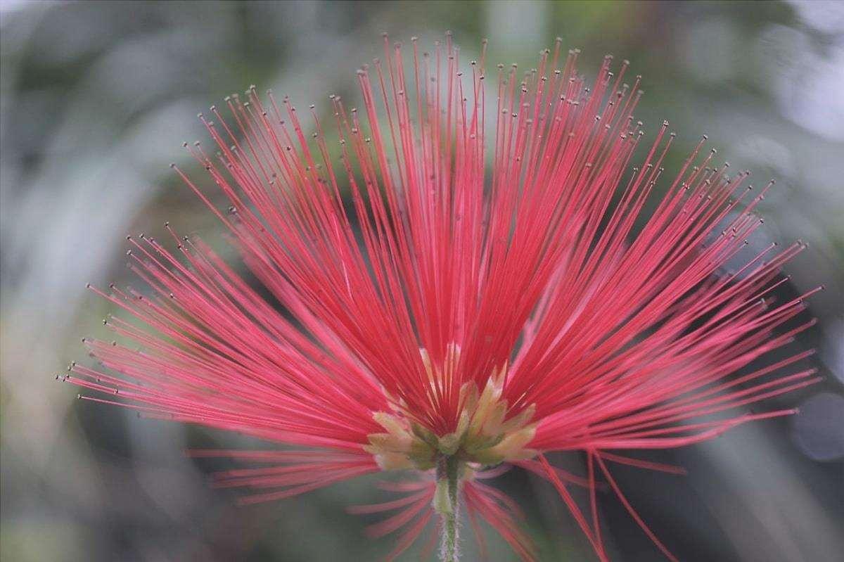 Calliandra produce fiori rari