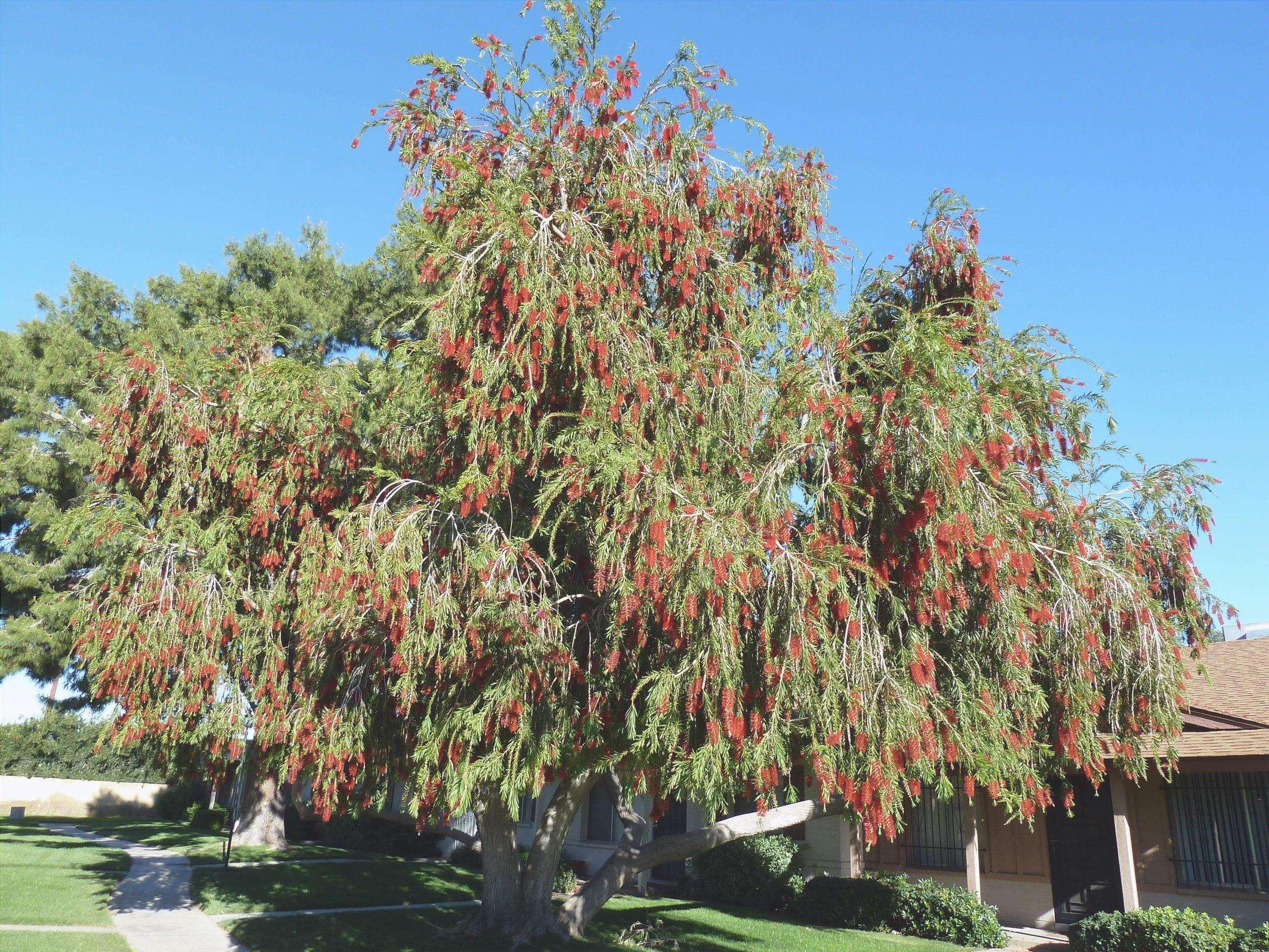Callistemon viminalis è un albero basso.
