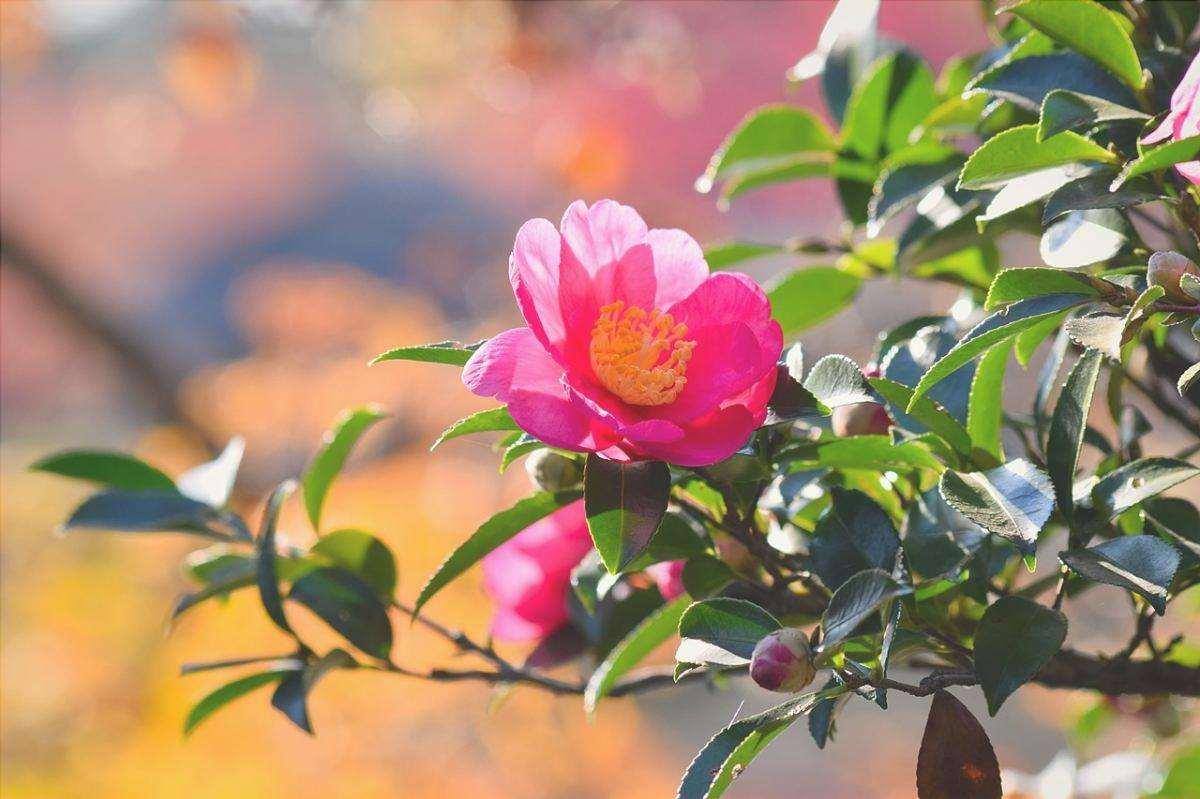 Ci sono molte piante ornamentali giapponesi