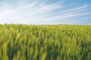 Campo di grano, una coltura piovosa