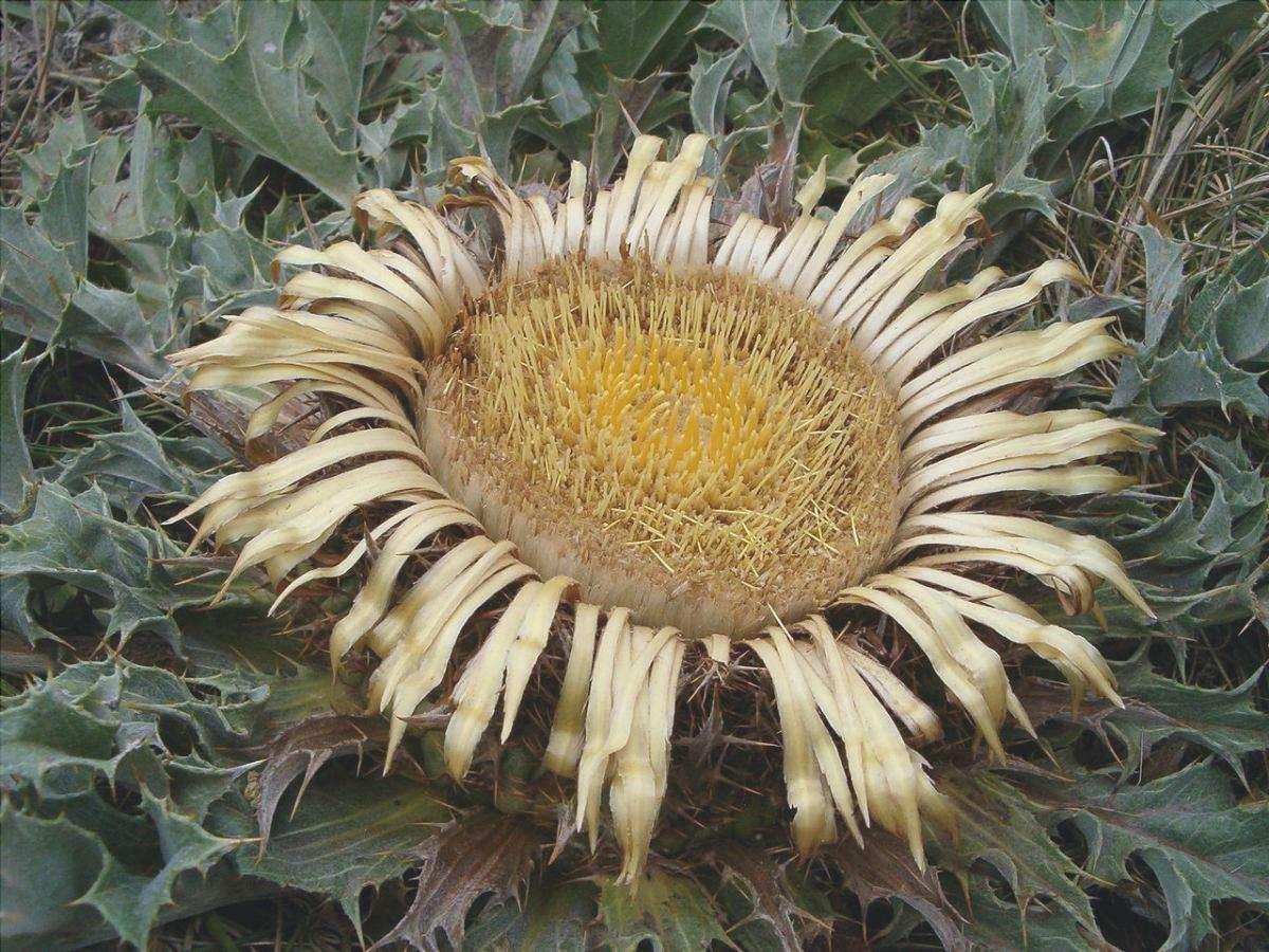 La Carlina acanthifolia è il fiore dei Paesi Baschi.