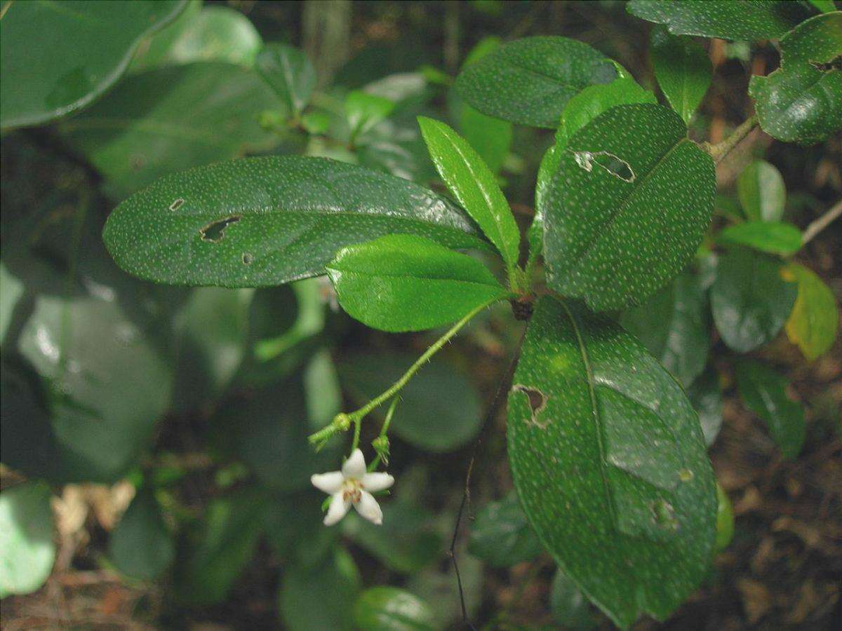 Carmona microphylla è un arbusto deciduo.