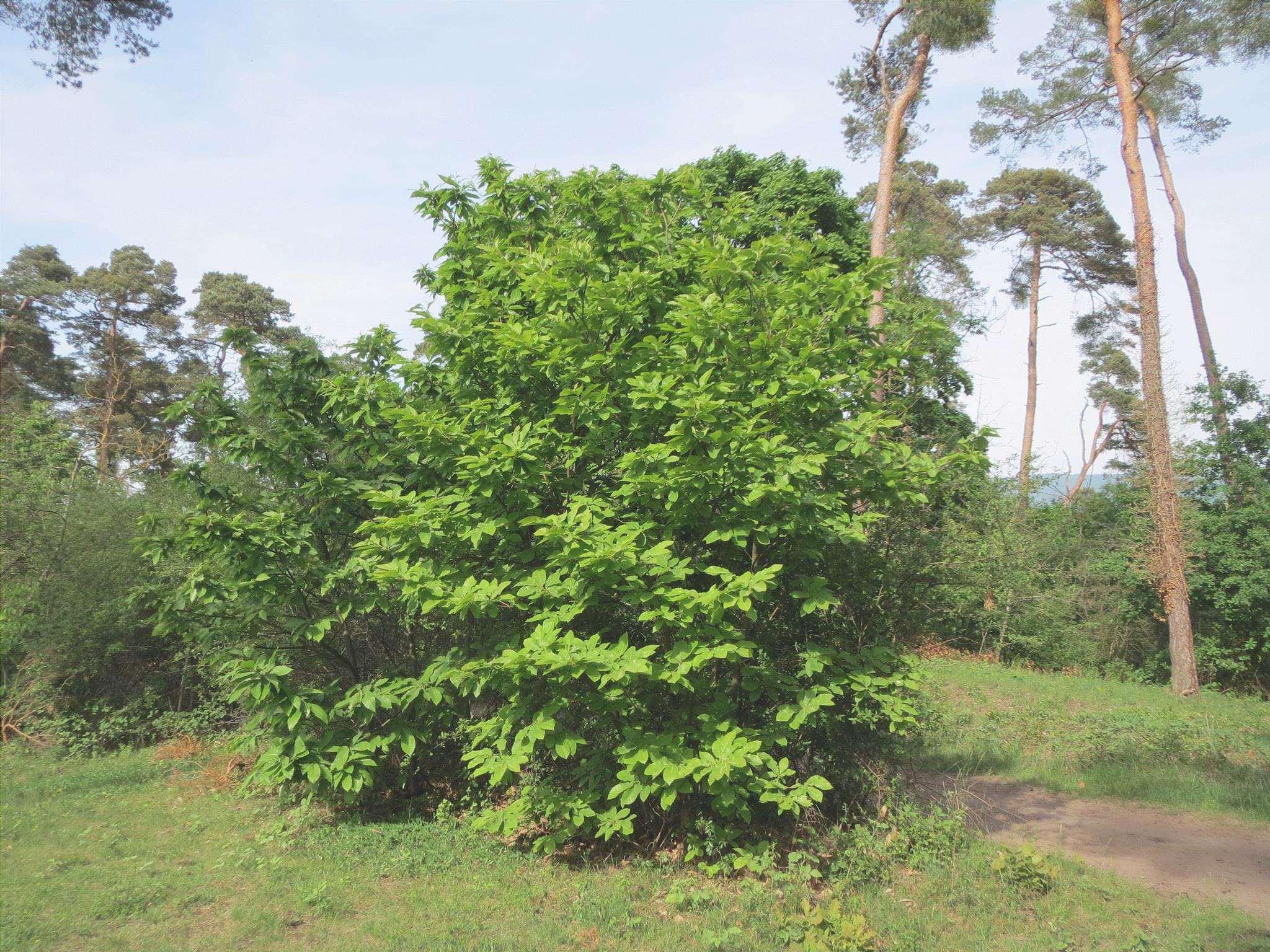 Il castagno è un albero da frutto