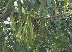 Frutti del carrubo o Ceratonia siliqua