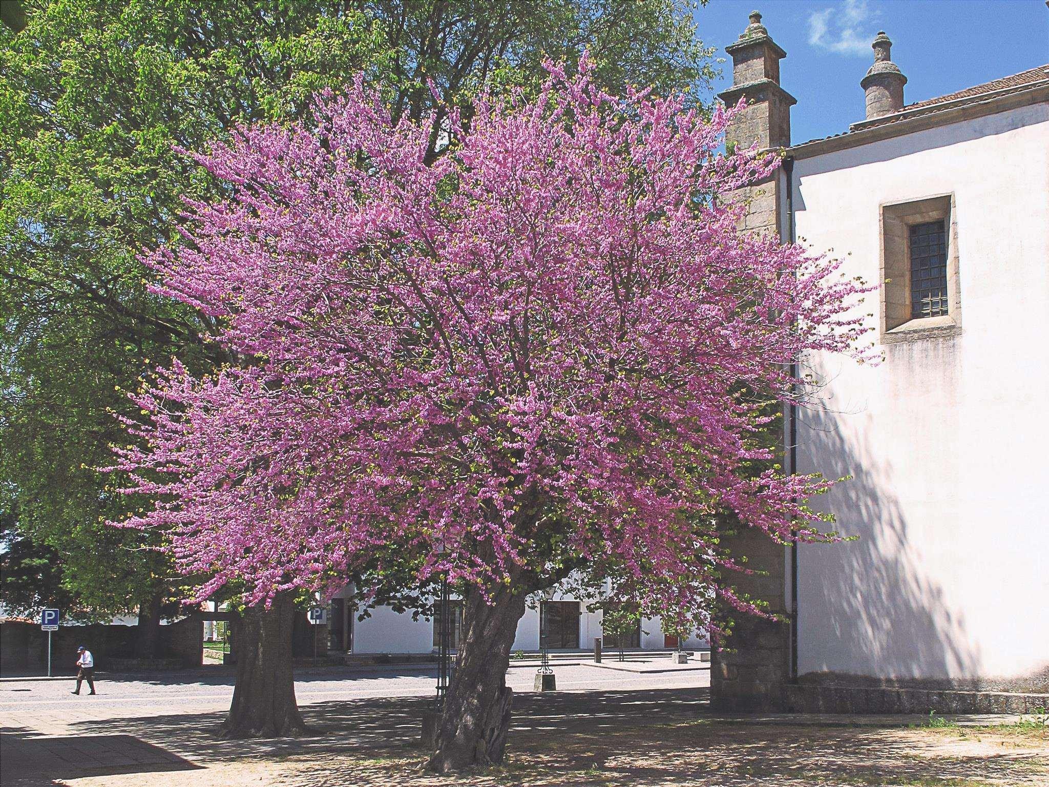 L'albero dell'amore è un piccolo albero che può essere piantato a casa.