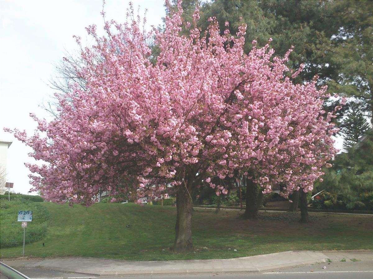 Il ciliegio giapponese è un albero con fiori rosa.