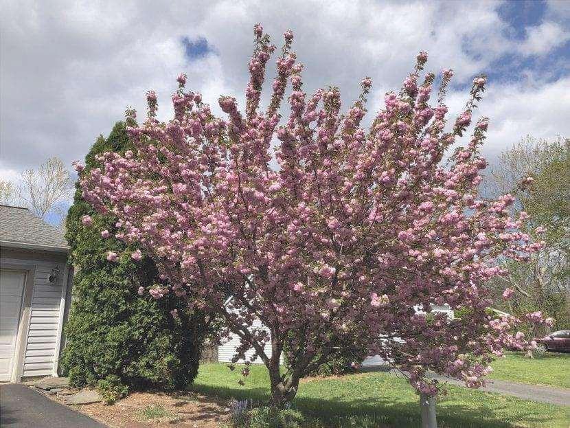 Il ciliegio Kanzan è un albero ornamentale.