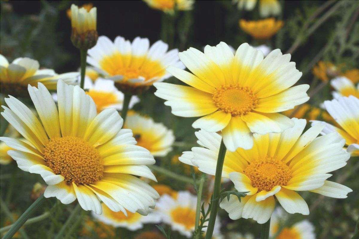 Il Chrysanthemum coronarium è una pianta selvatica.