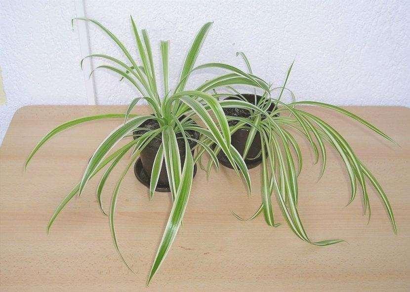 I nastri sono piante molto popolari in casa.
