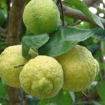 citrus limon 2