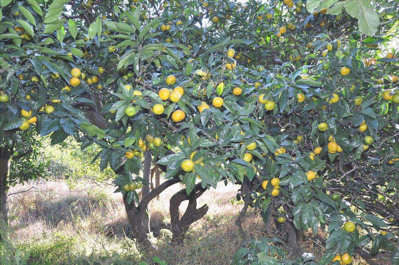 Citrus reticulata è un piccolo albero da frutto.