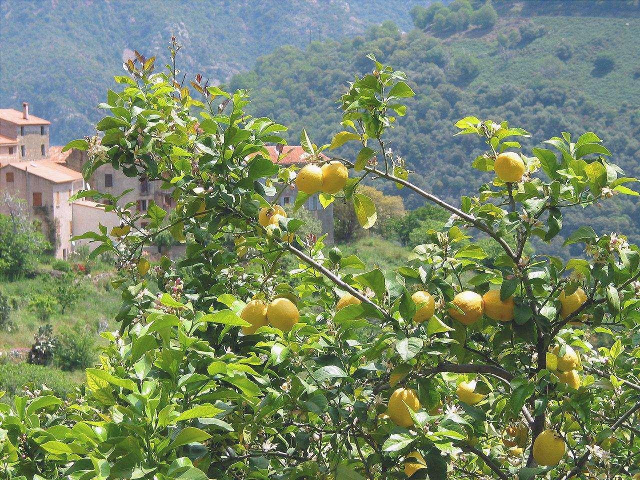 Vista dell'albero di limone