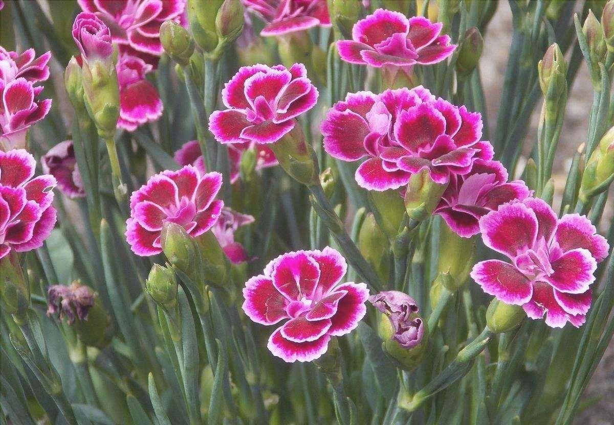 Il garofano è una pianta solare perenne.