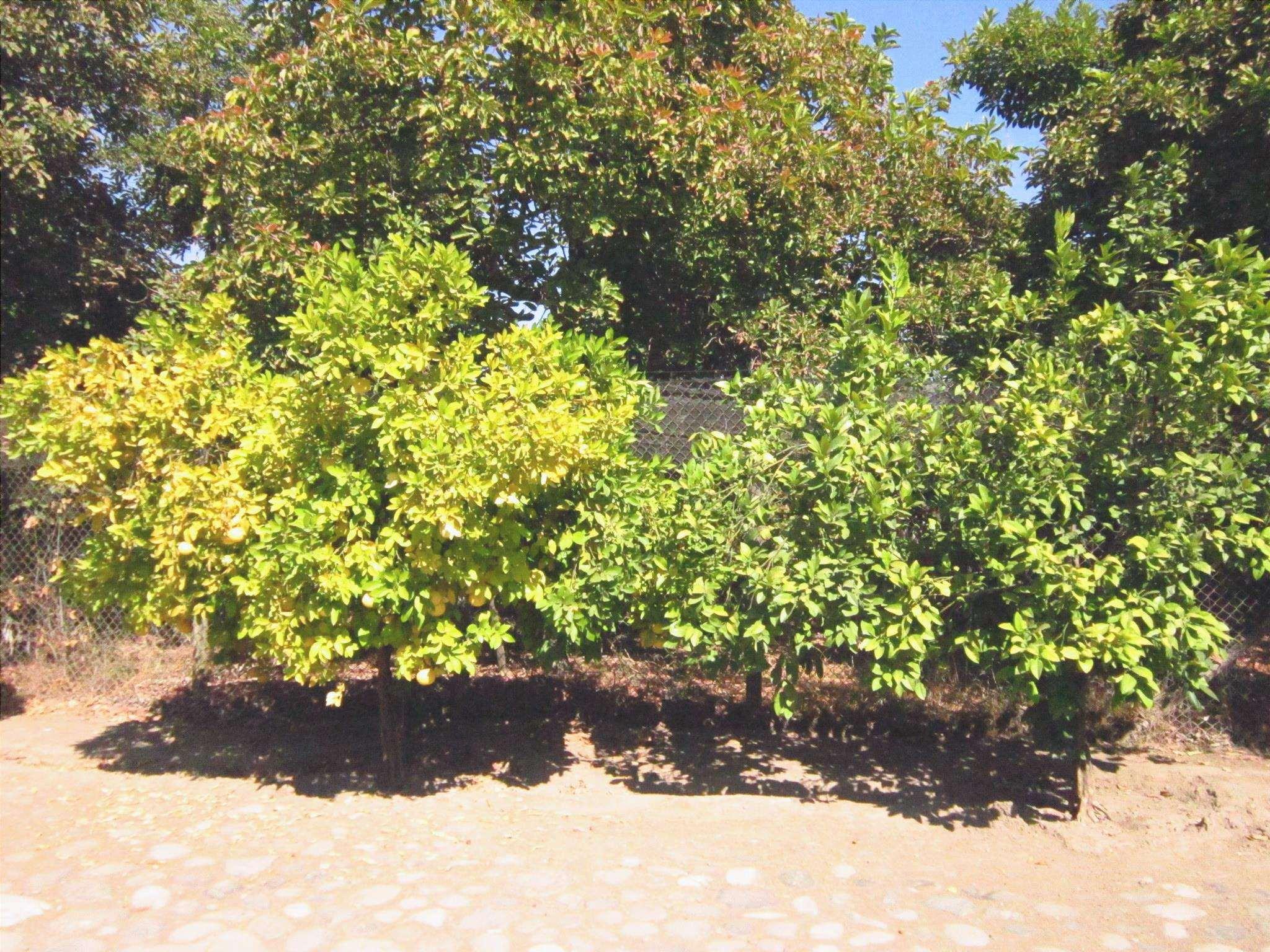 La clorosi è un problema comune negli alberi da frutto.