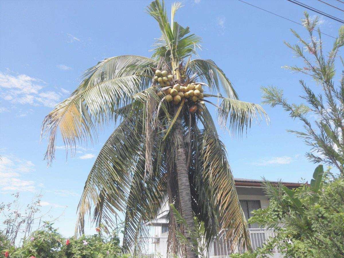 L'albero di cocco può diventare giallo