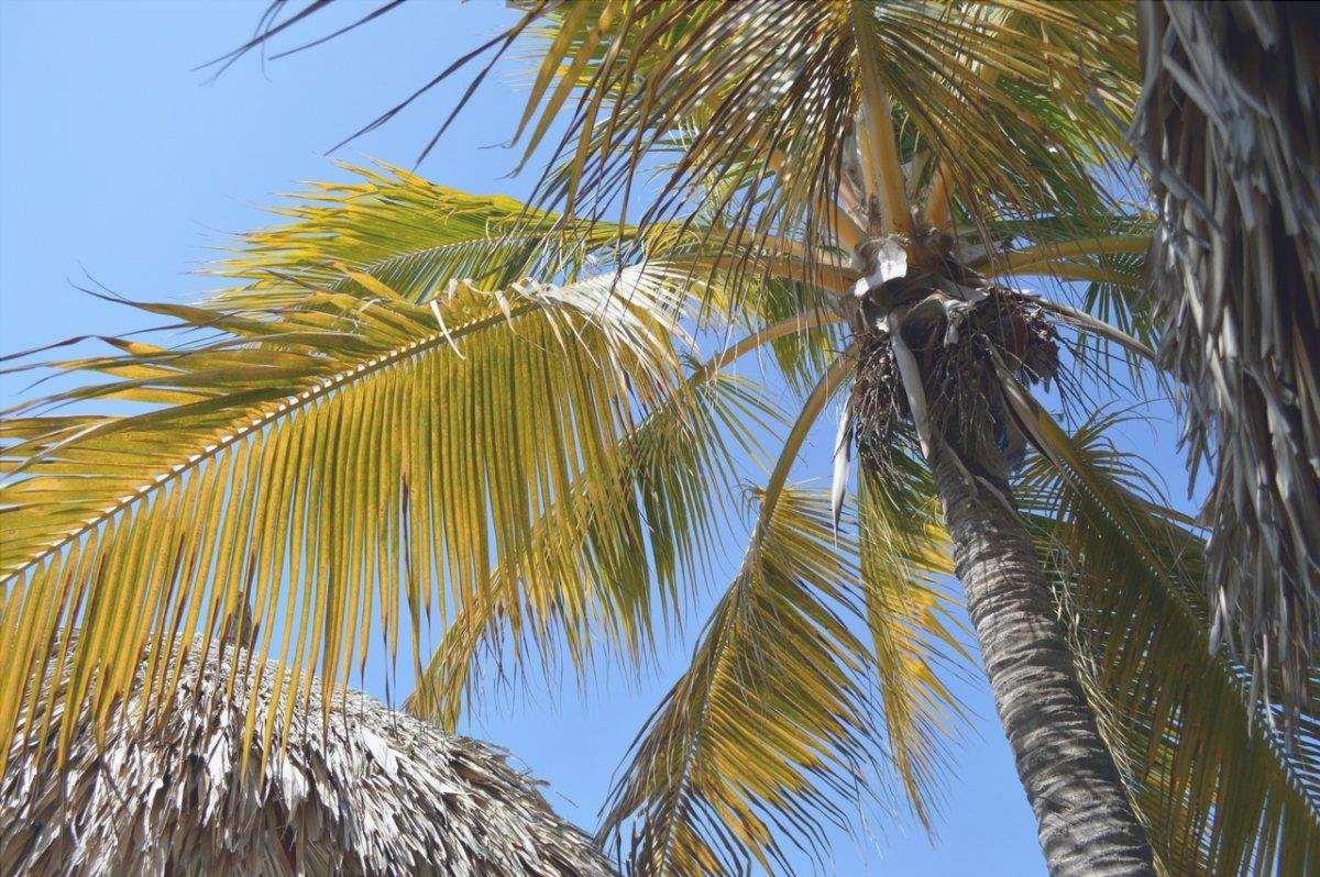 Le palme possono avere foglie gialle per diversi motivi