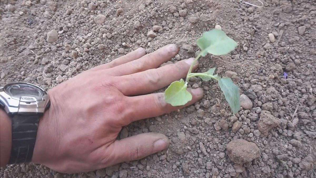 come piantare i broccoli