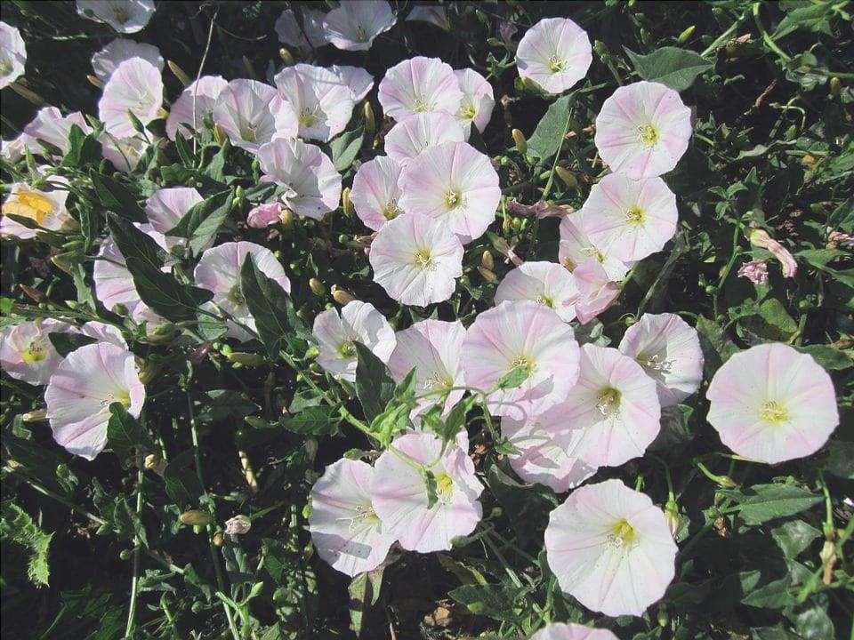 I fiori del convolvolo sono semplici