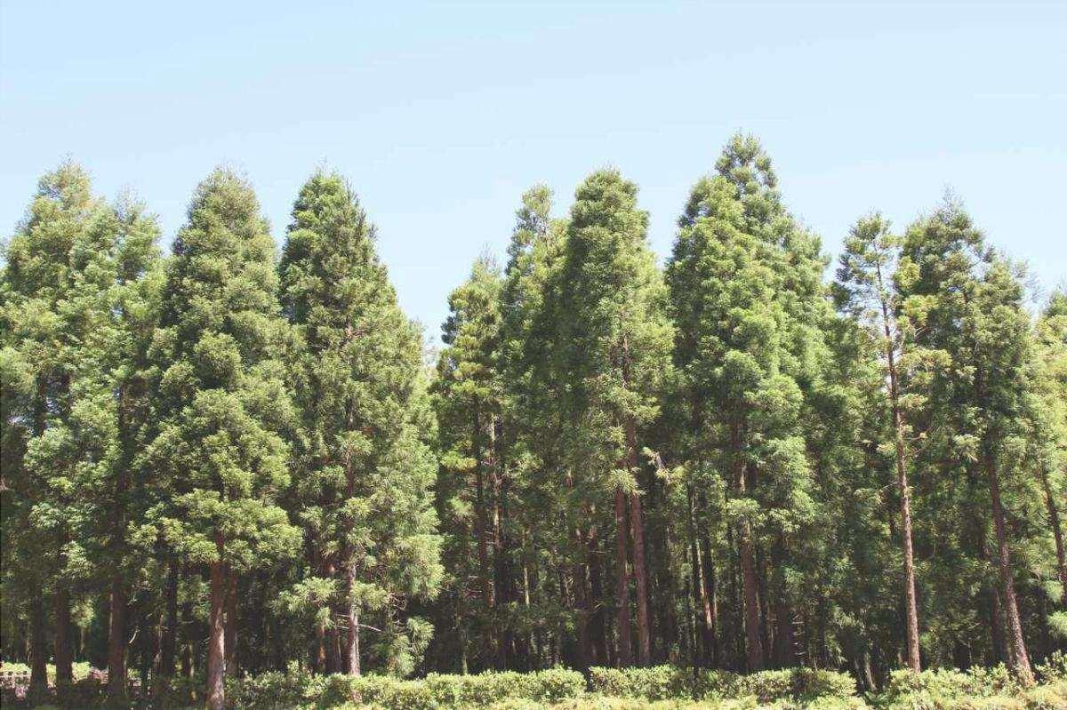 La Cryptomeria è una pianta originaria del Giappone.