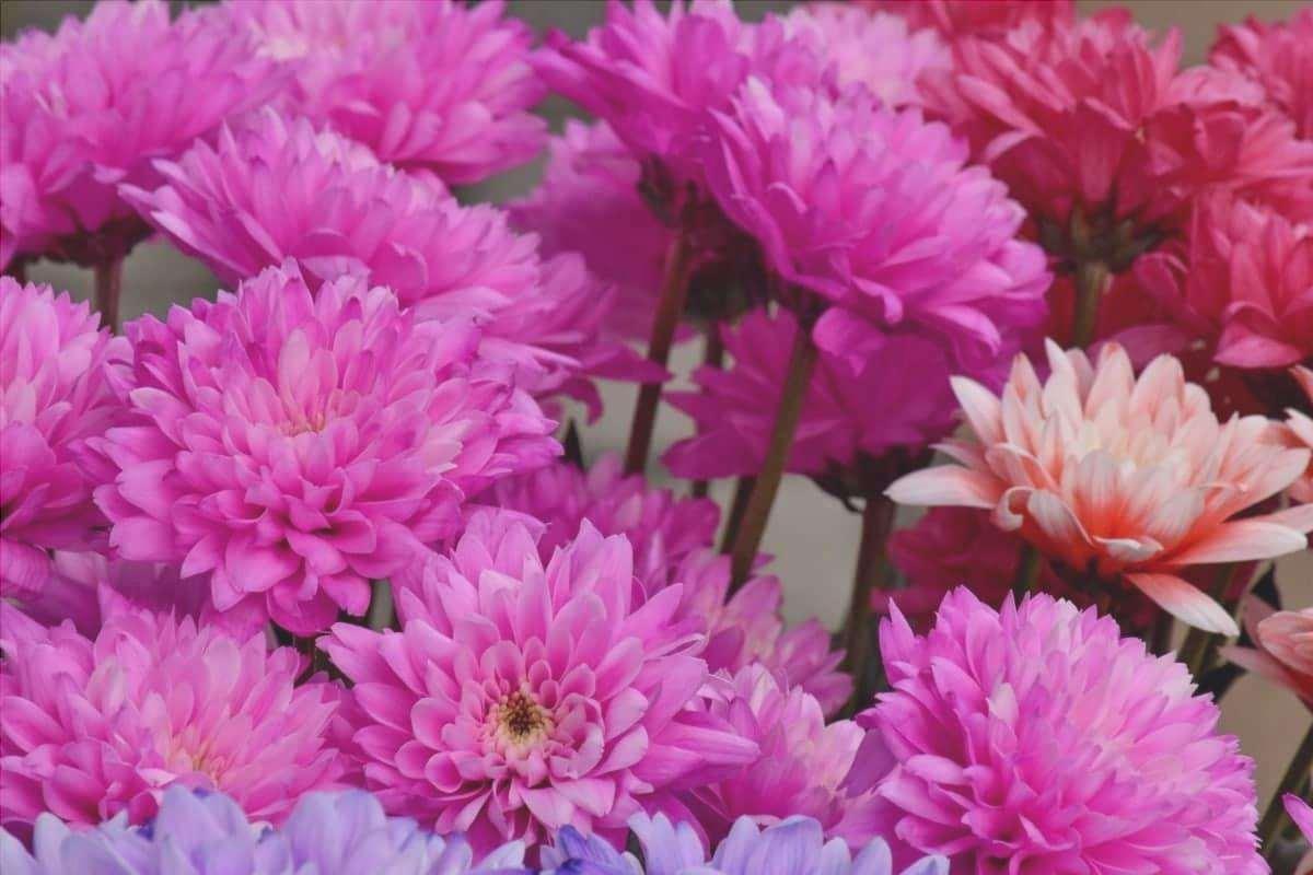 Il crisantemo è una pianta erbacea a fioritura tardiva.