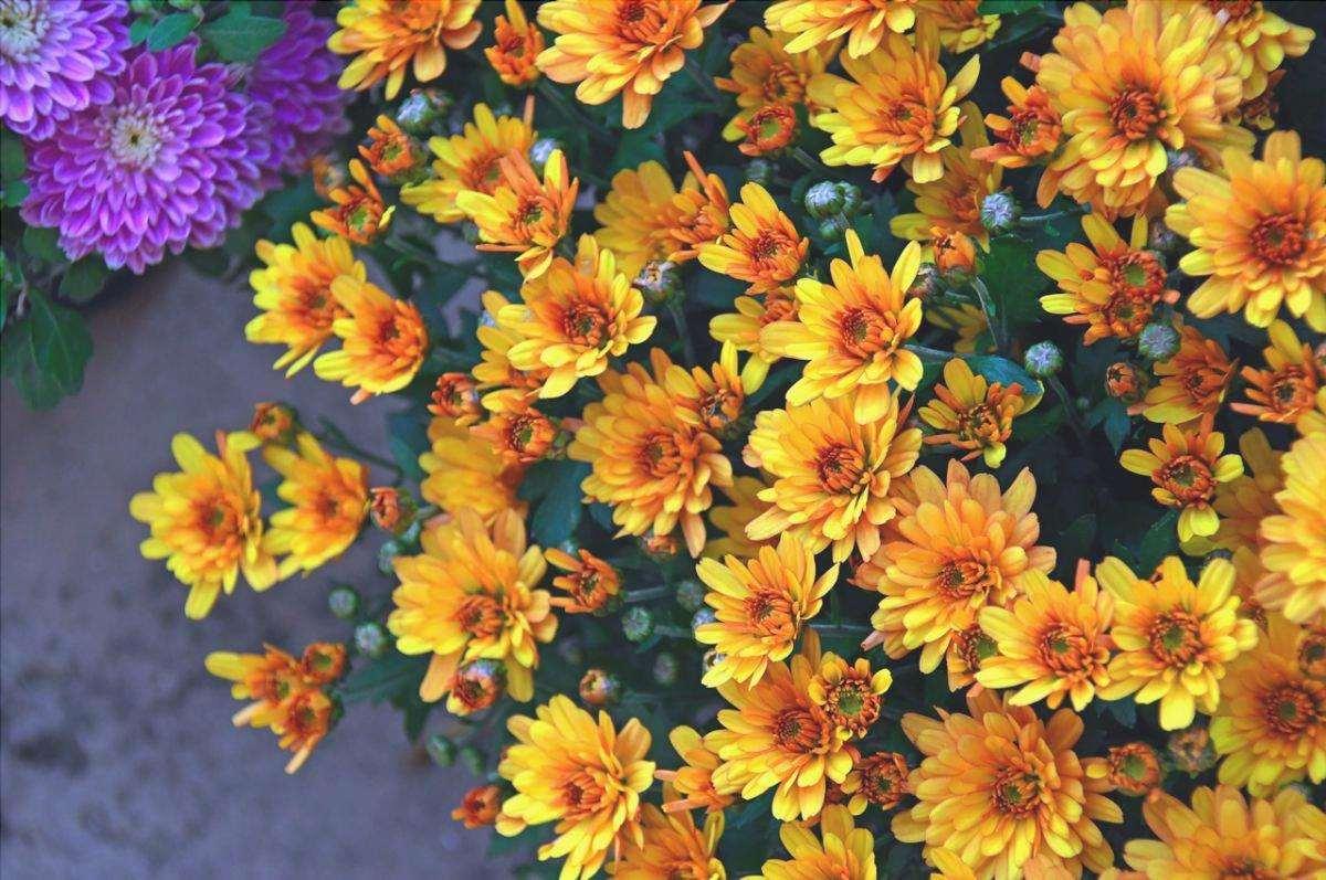 I crisantemi sono fiori di lunga durata