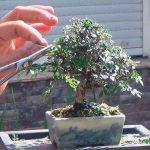 cuando podar un bonsai 1