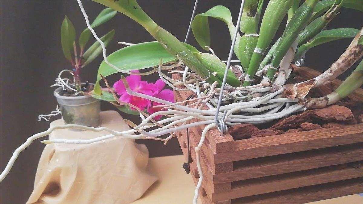 Scopri come trapiantare le orchidee
