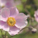 cuidados de la anemona